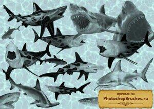 Кисти акулы